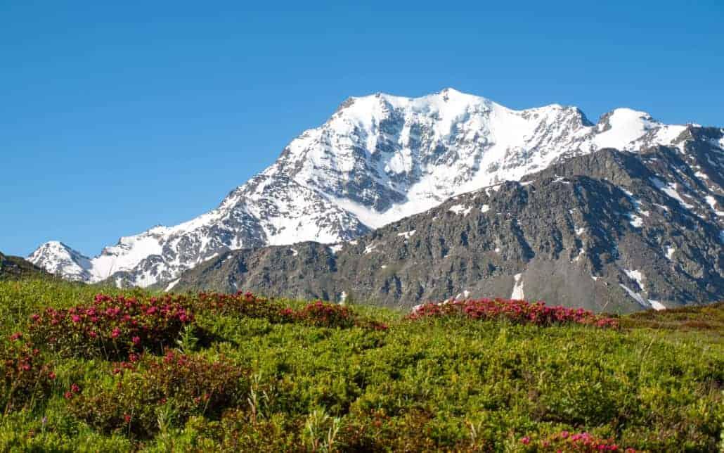Fletschhorn Frühling Alpenrosen Simplon