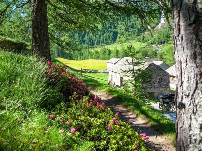 Stockalperweg Alpenrosen Chluismatte Simplon