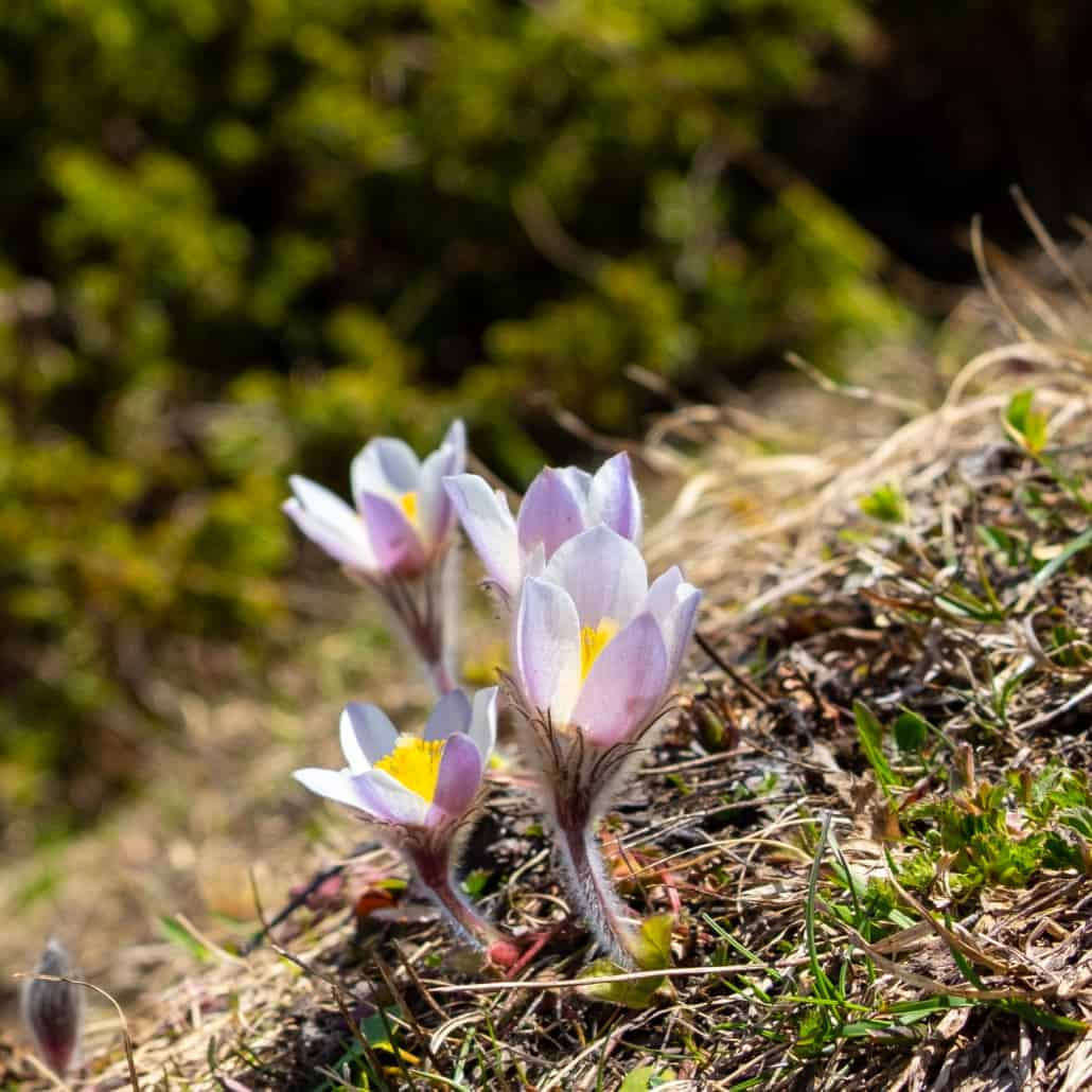 Frühling auf dem Simplonpass